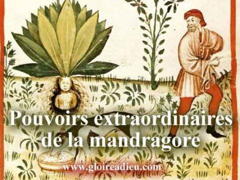 La Mandragore plante aphrodisiaque utilisée dans la Bible pour avoir des enfants